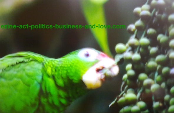 Ezine Acts Galleries: Green Parrot Feeding on Grape.