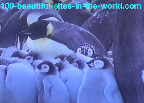 Ezine Acts Link Exchange: Young Penguins Getting Between Elders to Become Warm and Safe.
