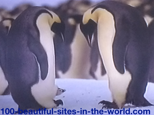 Ezine Acts Photo Gallery: Couple of Penguin Exchanging Protection of their New Born Penguin.