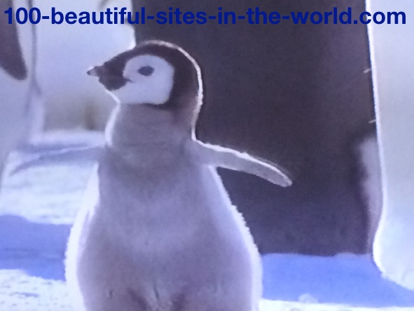 Ezine Acts Photo Gallery: Beautiful Happy Young Penguin After Birth.
