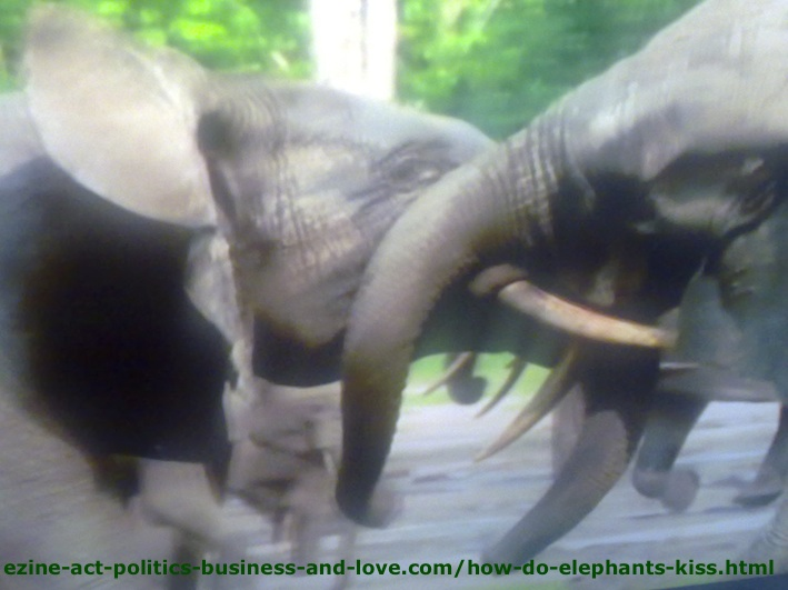 How Do Elephants Kiss? Here is How Elephants Kiss!