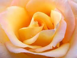 Yellow with Red Tip Rose for Adoration!