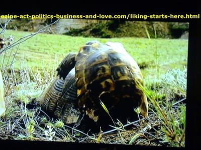 Pair of turtles mating, and breeding to keep the growth of the tortoise species.