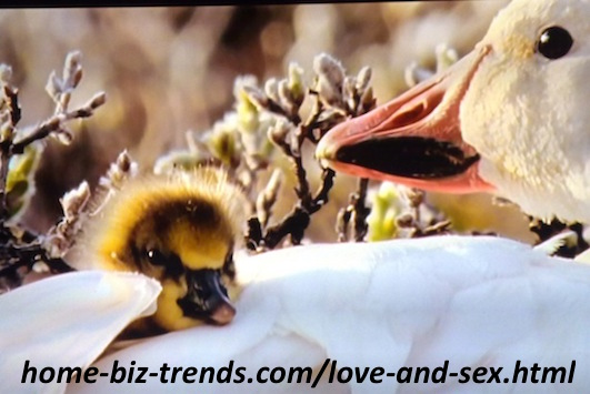 home-biz-trends.com - Love and sex: A duck protecting and taking care of new hatched ducks (ducklings) from eagles inside her feathers.