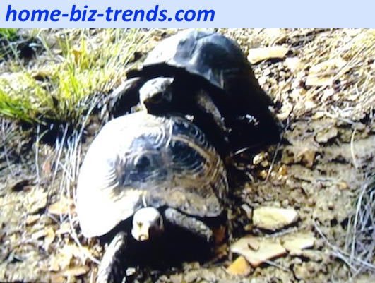 home-biz-trends.com - Love and sex: Tortoise couples mating. Tortoise sex is not fast like the rabbit sex. How do turtles mate with this heavy turtleback?