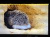 A hedgehog digging its hole in the sand to protect itself from the sand storm.