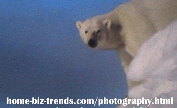 home-biz-trends.com/photography.html - Photography: Ice Bear, Polar Bear at the Top of the Ice.