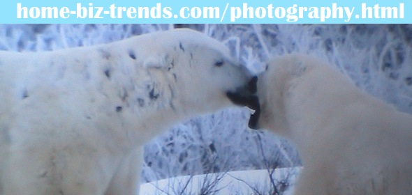 home-biz-trends.com/photography.html - Photography: Pair of Polar Bears Kissing. WOW! See also home-biz-trends.com/how-do-elephants-kiss.html.
