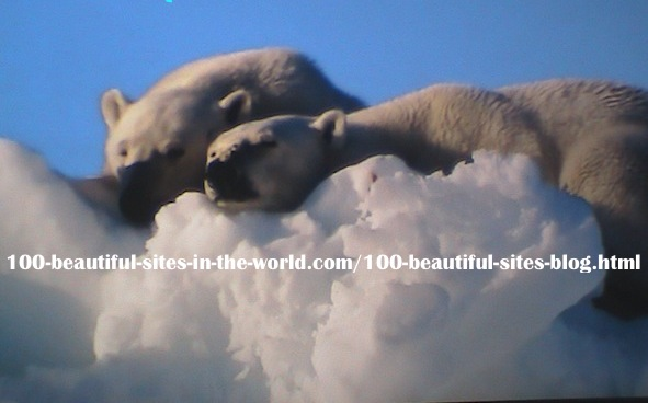 home-biz-trends.com/photography.html - Photography: A pair of Polar Bears, Ice Bears Relaxing on the Polar Ice. That was before the melting of the ice, caused by climate change,